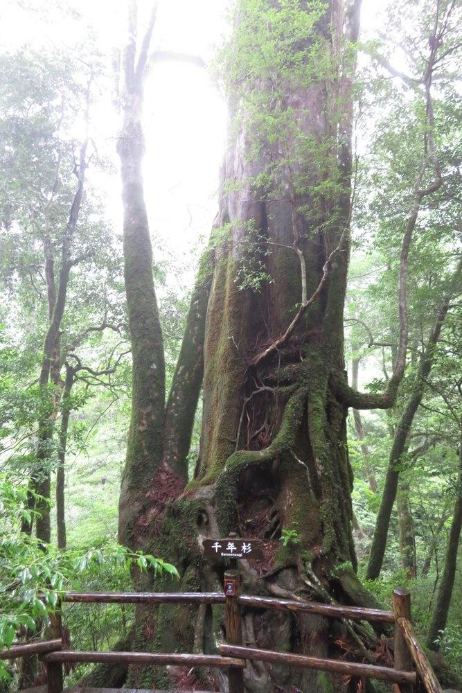 ヤクスギランド 子ども 千年杉