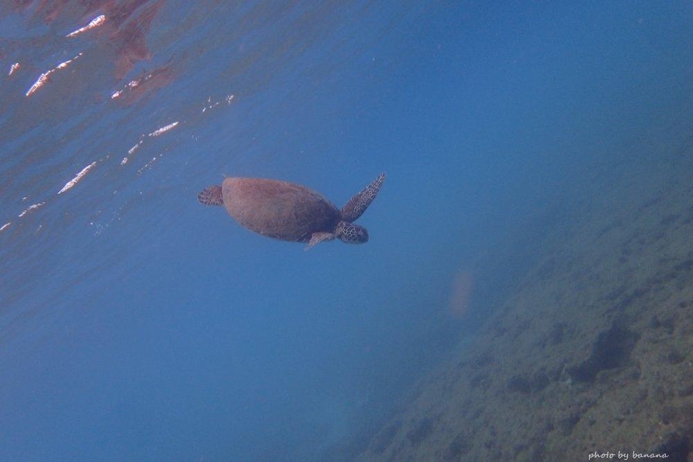 ウミガメ シュノーケル 屋久島